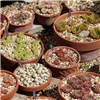 Sempervivum (Houseleeks) Succulent Collection 6 x 9cm Pots