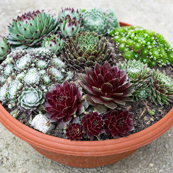 Sempervivum Houseleek Succulent Collection 9cm Pots (6 Pack) No Colour