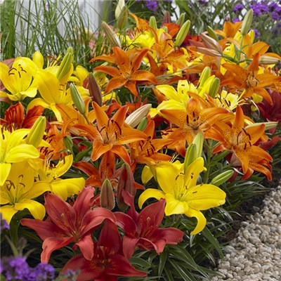 Carpet Lily Flame Mix x 20 Bulbs