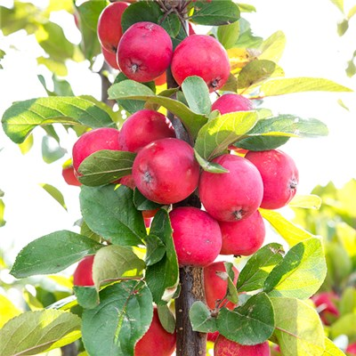 Mini Apple Tree 'Malus Appletini' 1L Pot