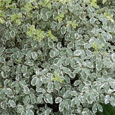 Evergreen Pittosprum Variegata 1m Standard 5L Pot