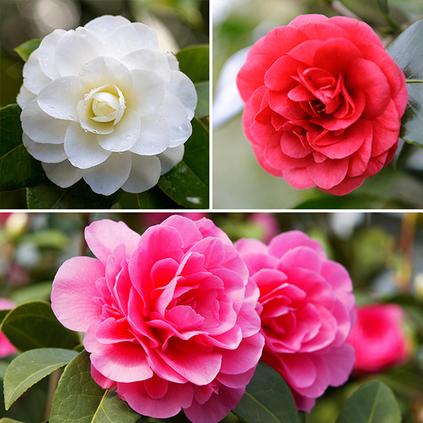 Camellia Collection 15cm Pots (3 Pack) No Colour