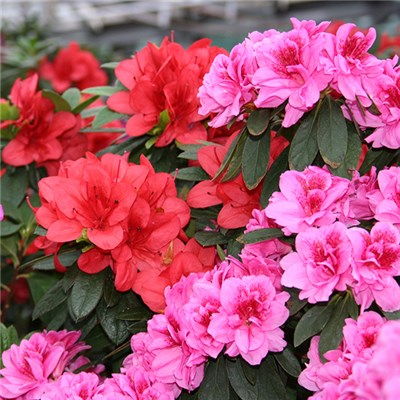 Hardy Double Flowered Azaleas 3 Pack Mixed Colours in 12cm Pots