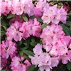 Rhododendron Pink Lady 4L
