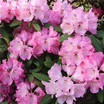 Rhododendron 'Pink Lady' 4L Pot