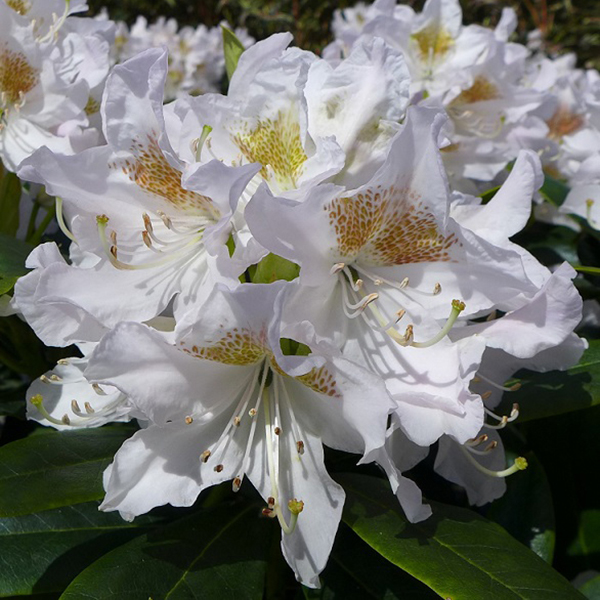 Rhododendron 'Cunninghams White' 4L Pot No Colour