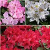Rhododendron Collection 3 x  4L