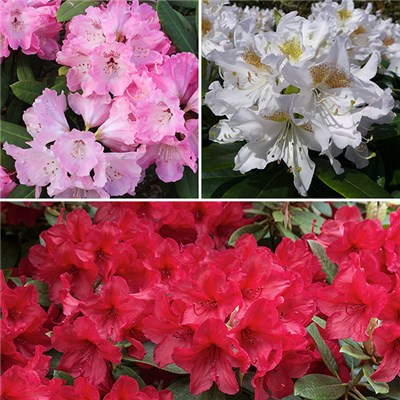 Rhododendron Collection 4L (3 Pack)