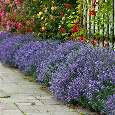 English Lavender Hidcote (18 Pack)