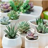 Indoor Succulents Houseplants - 6 Varieties in 5.5cm Pots