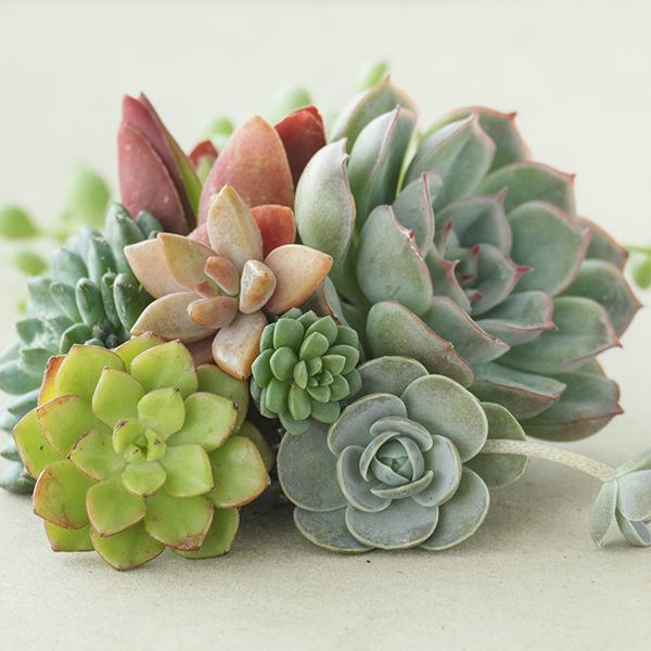 Indoor Succulents Houseplants 5.5cm Pots (6 Varieties) No Colour