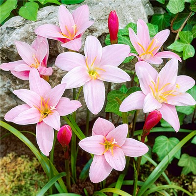 Zephyranthes 'Pink Fairy Lily' x 25 Bulbs
