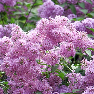 Patio Lilac 'Sugar Plum Fairy' 4.6L Pot