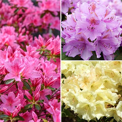 Dwarf Rhododendron Collection 3 Plants 2L Pots