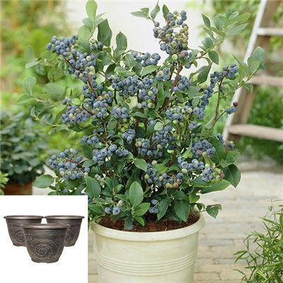 Blueberry Bonanza Plants with 7cm Planters (3 Pack)