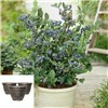 Blueberry Bonanza - 3 Blueberry Plants with 3 x 17cm Planters