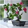 Camellia Bonsai with BONUS Silk Flower Cleaning Spray 1603633