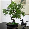 Maple Leaf Bonsai with BONUS Silk Flower Cleaning Spray 1603633