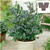 Blueberry Bonanza - 3 Blueberry Plants with 3 x 17cm Biscotti Planters