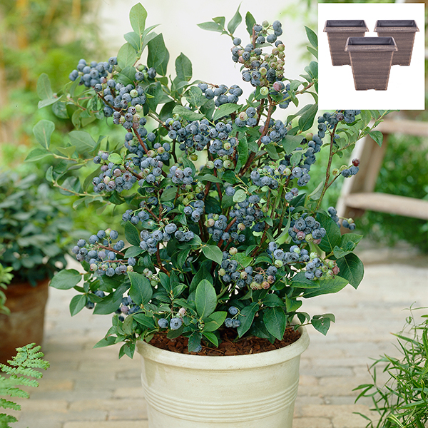 Blueberry Bonanza - Blueberry Plants with 7cm 'Biscotti' Planters (3 Pack) No Colour