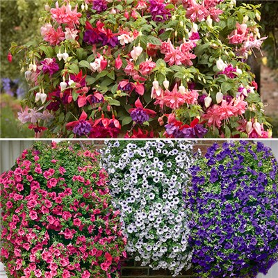 9 Jumbo Fuchsia & 9 Surfinia Winners Mix x 18 Plug Plants