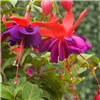 9 Jumbo Fuchsia & 9 Surfinia Winners Mix x 18 Plug Plants No Colour