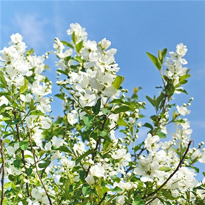 Exochorda Serratifolia 'Snow White' (Pearlbush) 3L Pot 50cm Tall