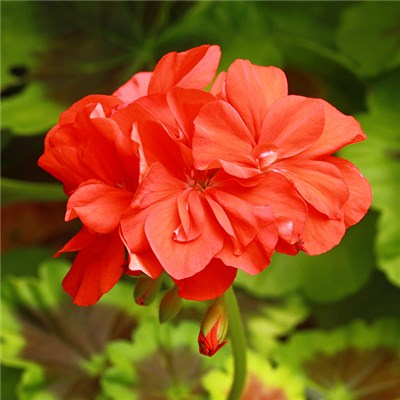 Classic Large Flowered Red Zonal Geranium Big Ezee Jumbo Plugs (12 Pack)