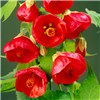 Abutilon Red Trumpet Standard 80cm Tall 19cm Pot