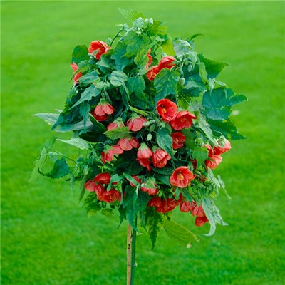 Abutilon Red Trumpet Standard 80cm Tall
