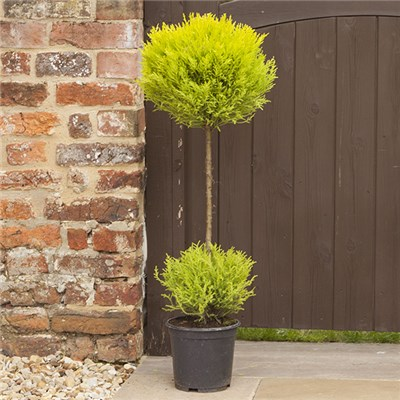 Golden Cypress Duo Ball Topiary 19cm Pot