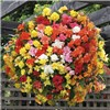 Begonia SuperCascade Mix x 18 Plug Plants No Colour