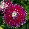 Dinnerplate Dahlia Vancouver x 5 Tubers