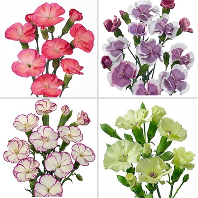 Old-Fashioned Carnations Solomio Mix (12 Pack)