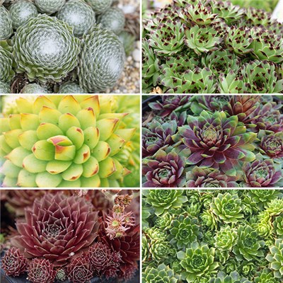 "Sempervivum ""Houseleek"" Alpine Plugs (12 Packs)"