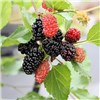 Morus Nigra Mojoberry 9cm (Patio Mulberry)