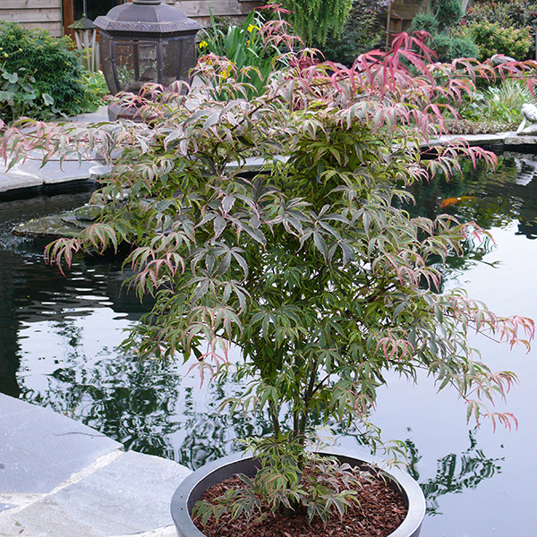 Acer 'Shirazz' 3L No Colour