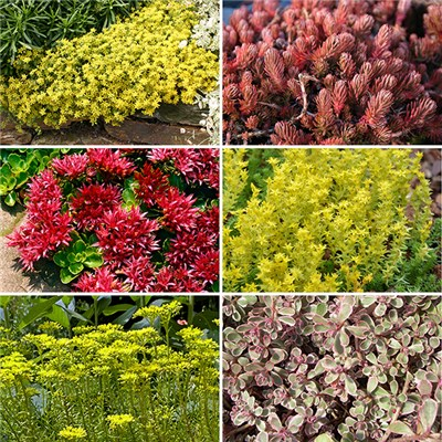 Hardy Carpetting Sedum Mixed Colours (12 Pack)