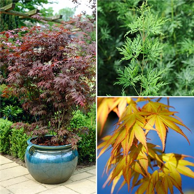 Colourful Acer Bushes in 10.5cm Pots & Alhambra Planters (3 Pack)