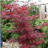Set 3 Colourful Acer Bushes in 10.5cm Pots & 3 Alhambra Planters