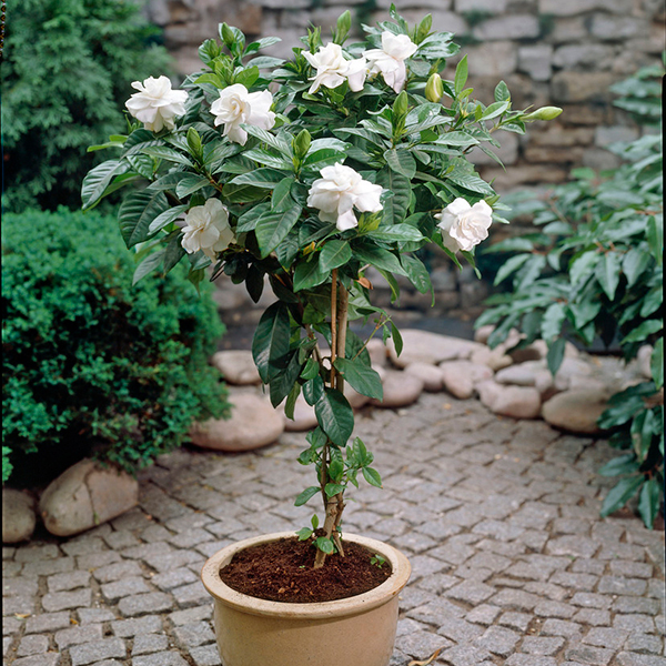 Gardenia Plaited Stem Standard 70cm No Colour