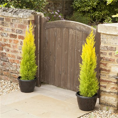 Golden Cypress (Goldcrest) Plants 70cm Tall in 14cm Pots (Pair)