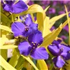 Tradescantia Blue & Gold set of 6 Plugs