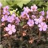 Hardy Geranium Black Beauty Set of 3 Plugs
