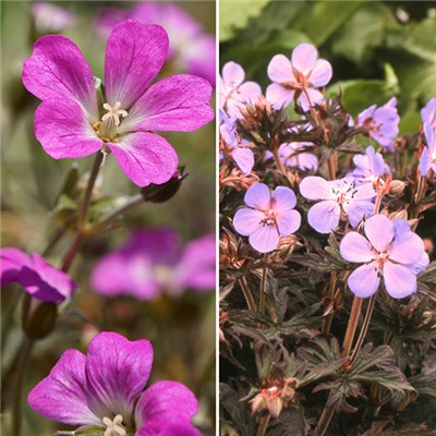 Dark Leaved Hardy Geranium Collection Set (6 Pack)