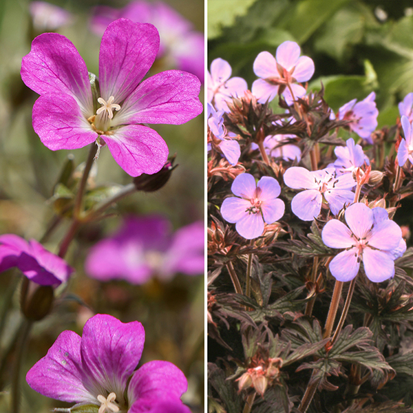 Dark Leaved Hardy Geranium Collection Set (6 Pack) No Colour