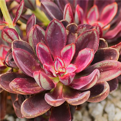 Echeveria Nodosa Plug Plants (6 Pack)