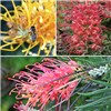 Grevillea Collection 3 x 9cm