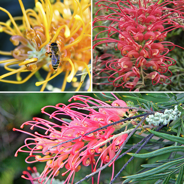 Grevillea Collection 9cm (3 Pack) No Colour
