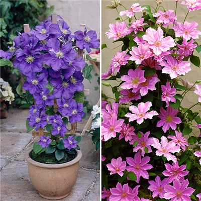 Boulevard Patio Blue & Pink Clematis on 60cm Trellis (Pair)